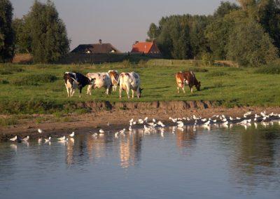koeien-aan-de-waterkant