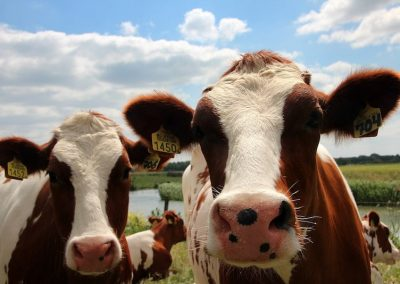 koeien-roodbont-vee