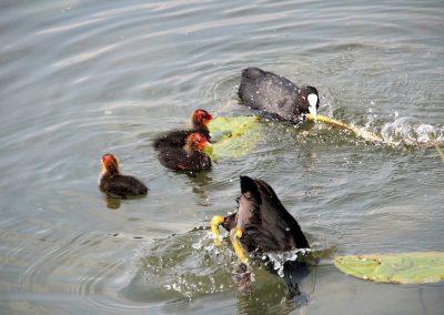 meerkoet-waterlelie-kuikens-water