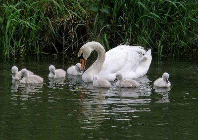 moeder-zwaan-kleine-zwaantjes