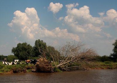omgevallen-boom-waterkant-erosie