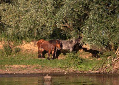 paarden-aan-de-waterkant