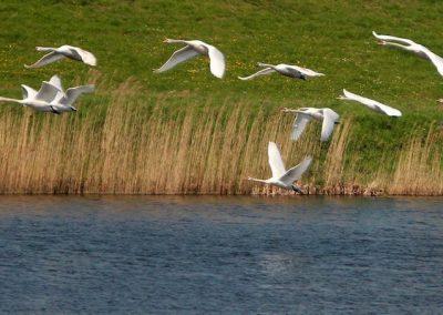 vliegende-zwanen-boven-water