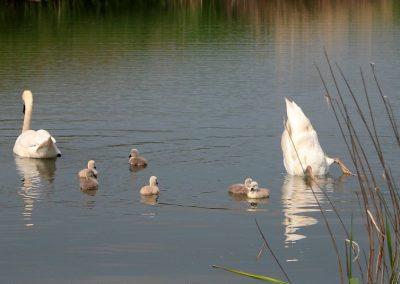zwanen-lelijke-eendje-zwaan